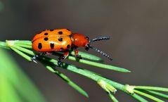 Der farbenfrohe Zwölfpunkt-Spargelkäfer (Crioceris duodecimpunctata).