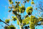 Der fast Tote Baum