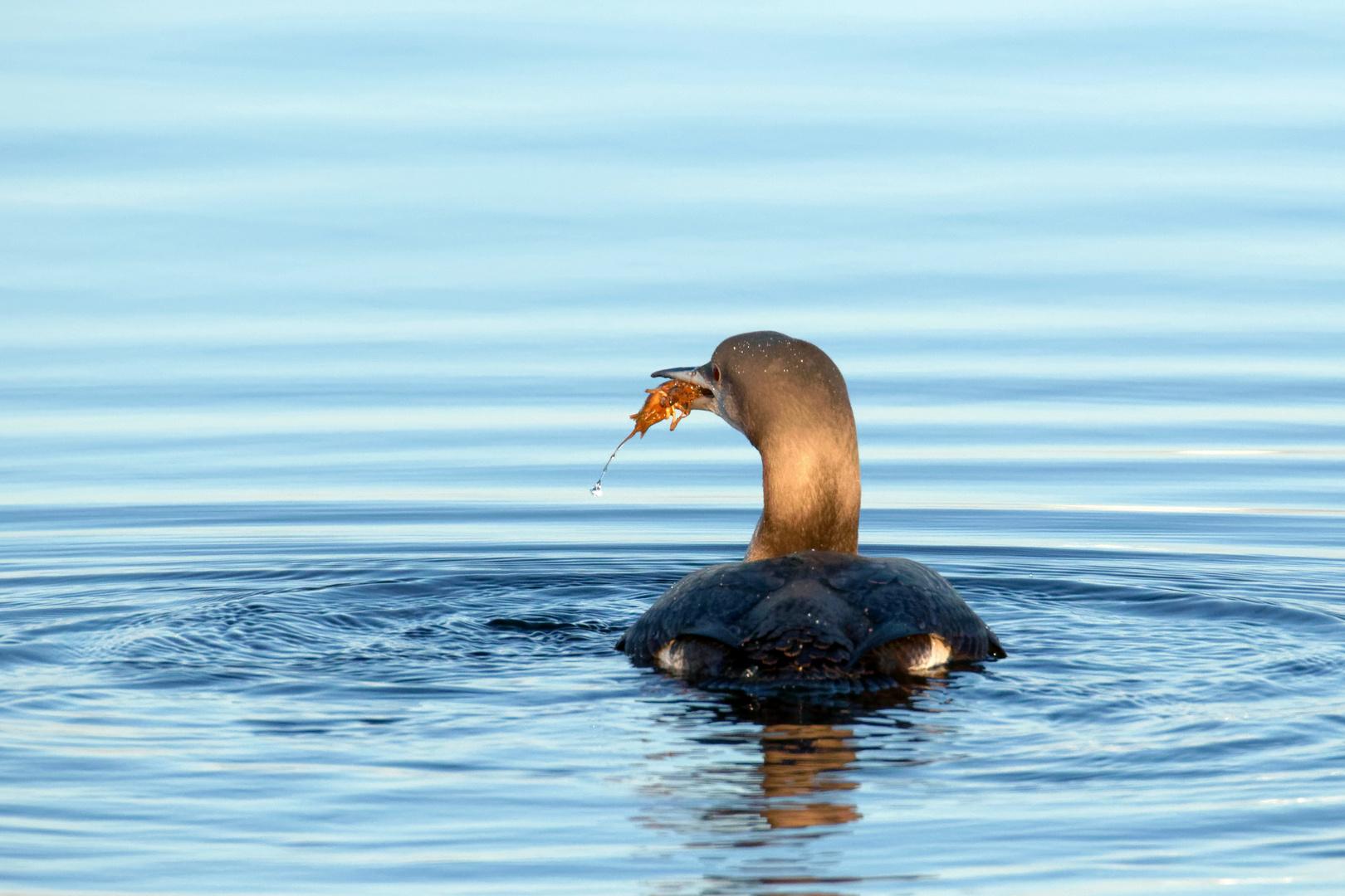 Der Feinschmecker - Prachttaucher (Gavia arctica) mit Flußkrebs!