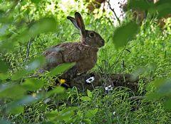 Der Feldhase (Lepus europaeus) möchte euch auch Frohe Ostern wünschen! - Joyeuses Pâques!
