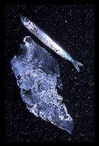 Der Fisch am Strand von Jökulsa