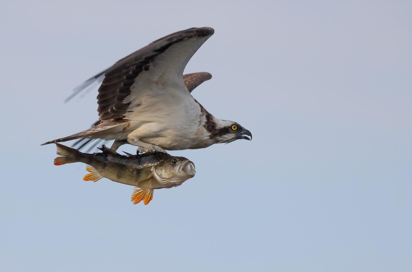 Der Fischadler ...