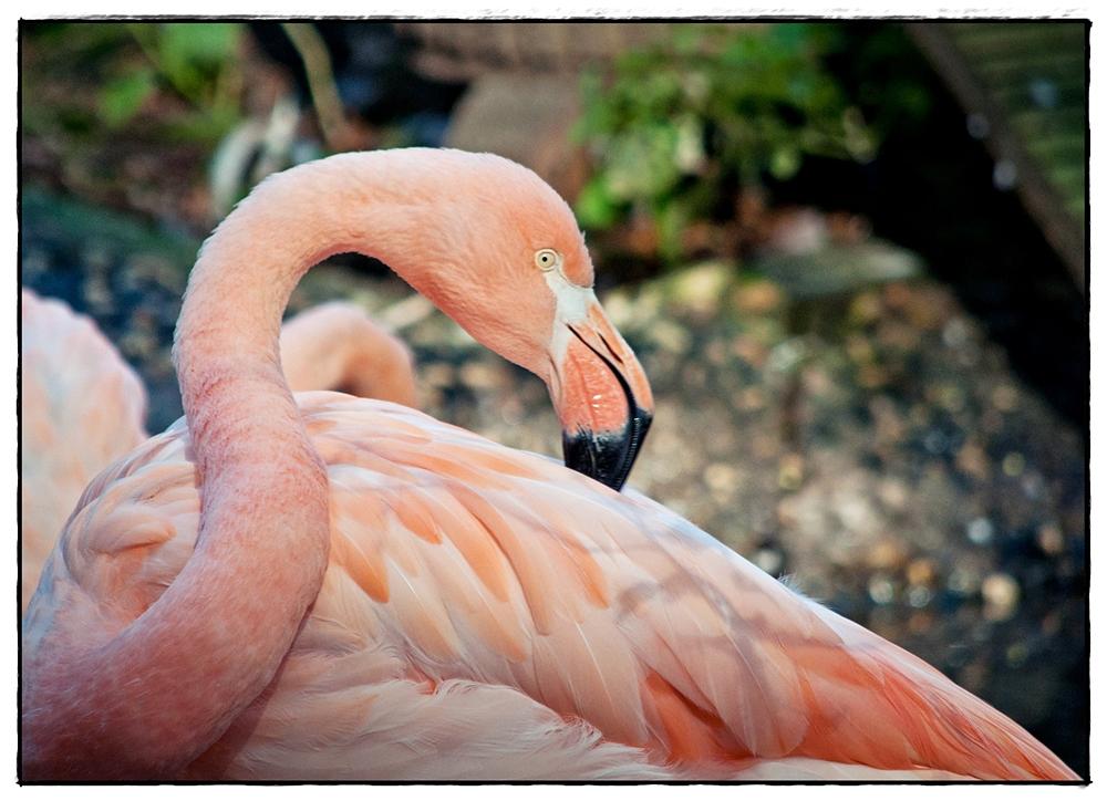 Der Flamingo