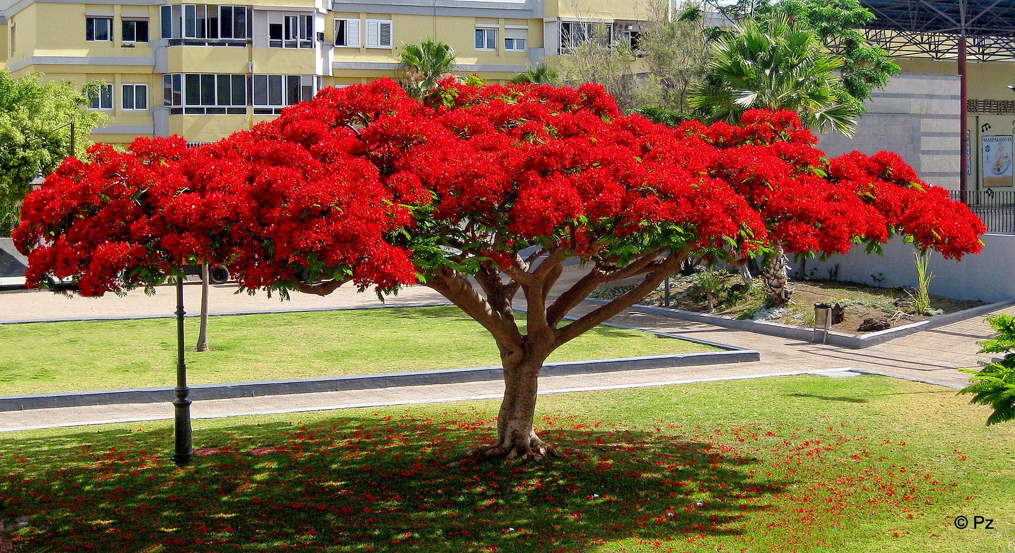 Der Flammenbaum (Flamboyant) in voller Schönheit ...