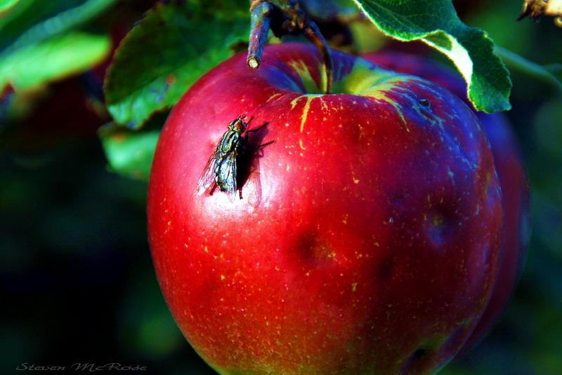 Der Fliege_nde Apfel