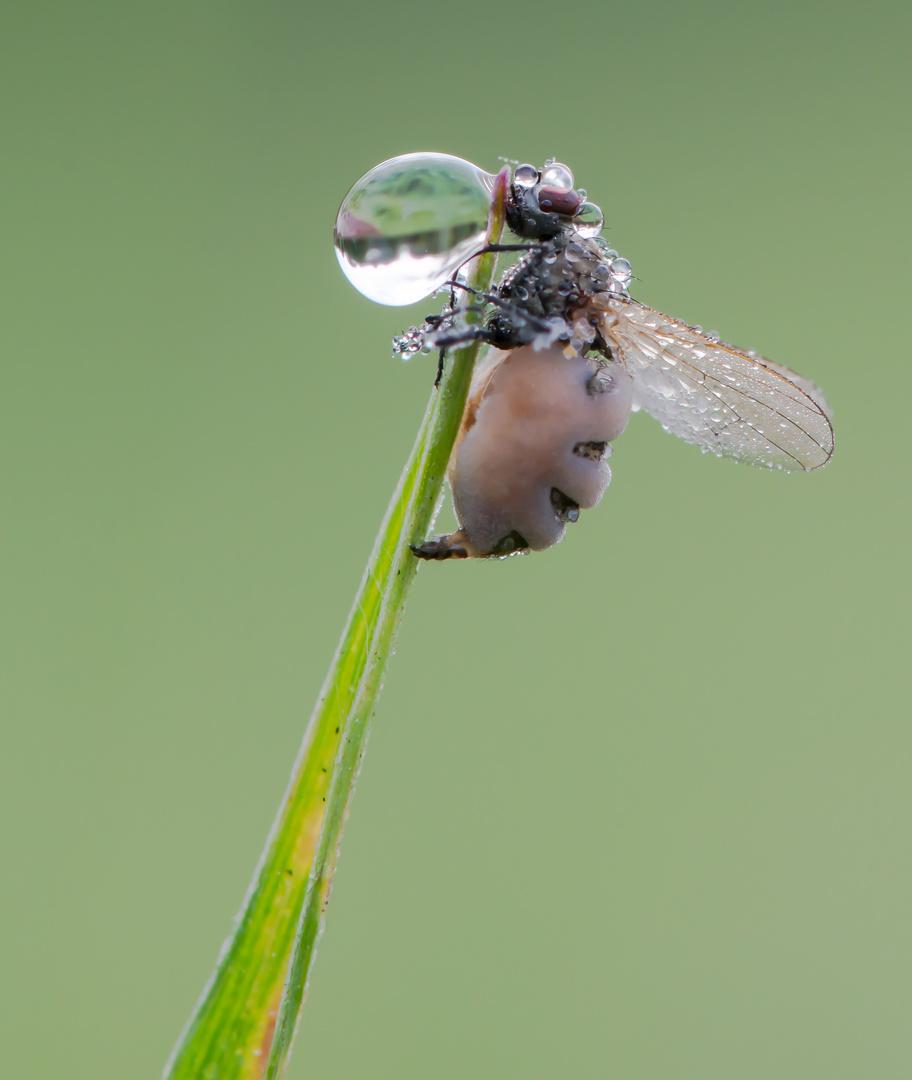 Der Fliegentöter