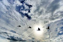 Der Flug der Kormorane