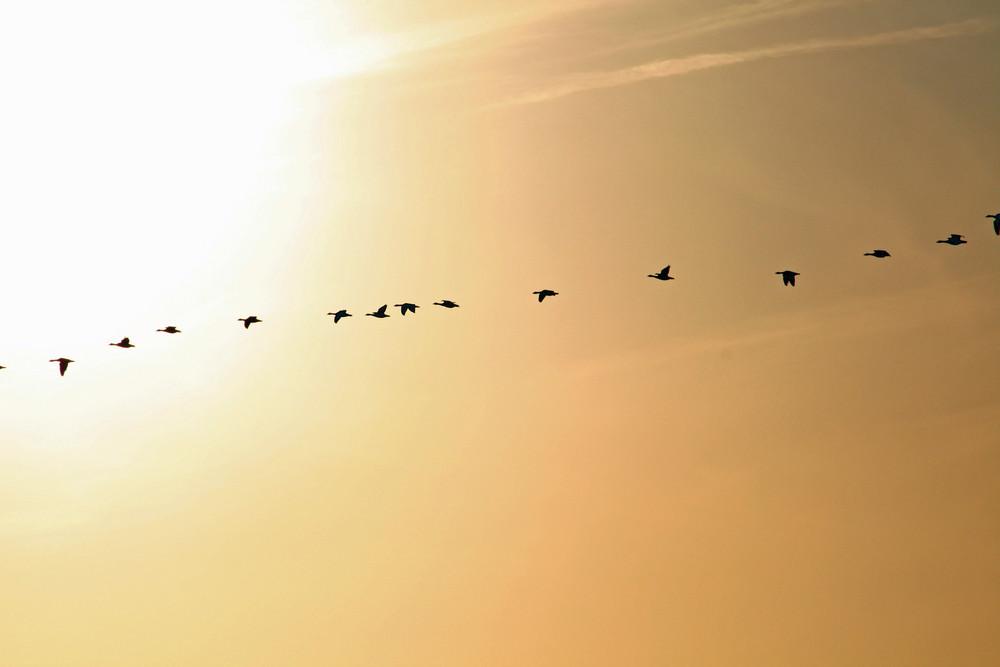 Der Flug der Wildgänse