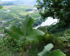 Der Französische Ahorn (Acer monspessulanum)