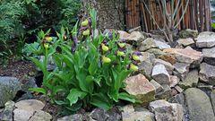 Der Frauenschuhhorst ist noch schöner geworden, je mehr Blühten sich öffnen...