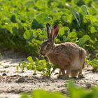 Der freche Hase ... ( Lepus europaeus)