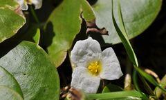 Der Froschbiss (Hydrocharis morsus-ranae)