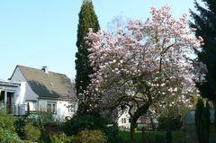 Der Frühling ist endlich da / Magnolienbaum in voller Pracht