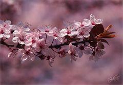 ...der Frühling ist rosa...
