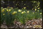 Der Frühling ist schon da, berichtet die Narzisse