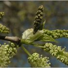 Der Frühling knospelt .....:-))