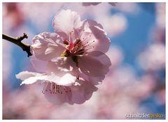 - der Frühling kommt -