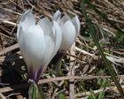 Der Frühlings-Krokus 'Crocus albiflorus'