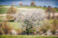 ... der Frühlingsbaum ...