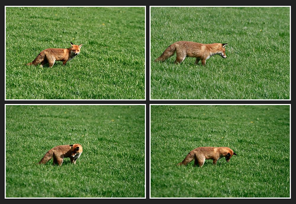 Der Fuchs 1