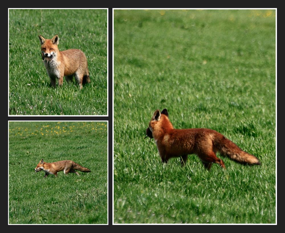 Der Fuchs 2