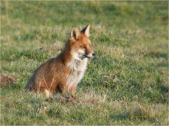 Der Fuchs genoß ein Sonnenbad....