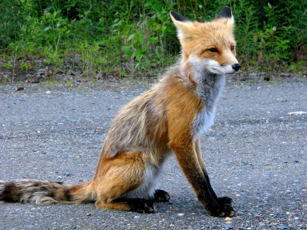 Der Fuchs von Keno City