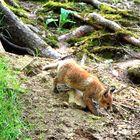 Der Fuchswelpe erkundet die Umgebung