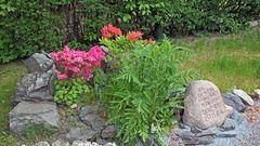 Der Gedenkstein für den Schwigervater bei den Azalleen von ihm einst gepflanzt