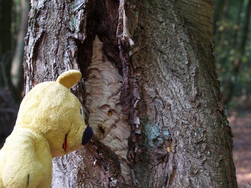 Der gelbe Bär am Hornissennest