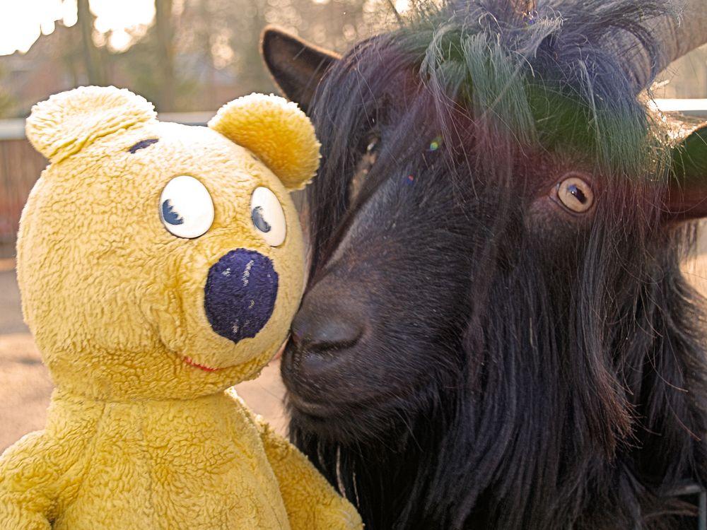 Der gelbe Bär beim schwarzen Bock