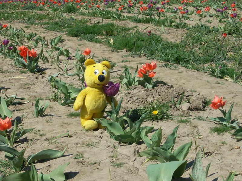 Der gelbe Bär hilft Tulpen ernten