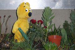 Der gelbe Bär hilft...Rosen pflanzen