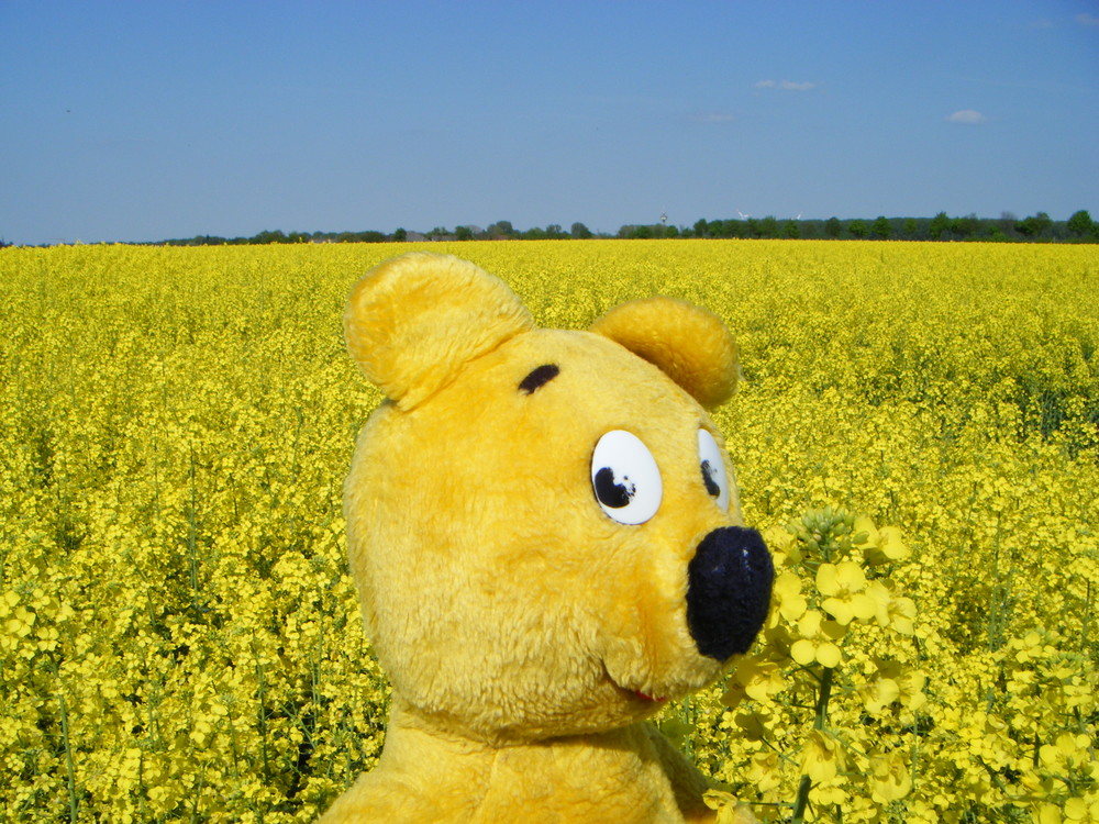 Der gelbe Bär im gelben Meer (Rapsfeld)