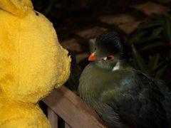 Der gelbe Bär im Gespräch mit einem Turako