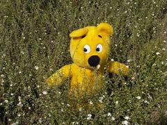 Der gelbe Bär in Blumenfeld