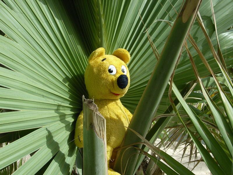 Der gelbe Bär in der Fächerpalme
