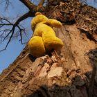 Der gelbe Bär ist wieder oben