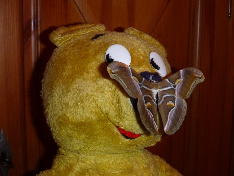 Der gelbe Bär mit Schmettbo zu Hause