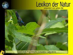 Der gelbe Bär Naturlexikon - Gebänderte Prachtlibelle