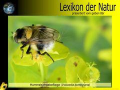 Der gelbe Bär Naturlexikon - Hummelschwebefliege