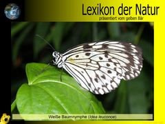 Der gelbe Bär Naturlexikon - Weiße Baumnymphe