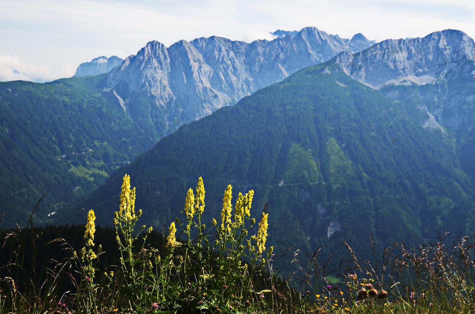 Der gelbe Eisenhut vor einer prachtvollen Bergkulisse im Kärntner Lesachtal