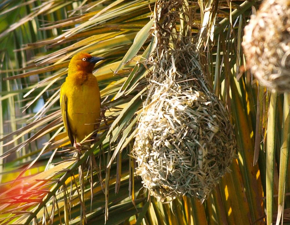 der gelbe vogel in port elizabeth s dafrika foto bild tiere wildlife wild lebende v gel. Black Bedroom Furniture Sets. Home Design Ideas