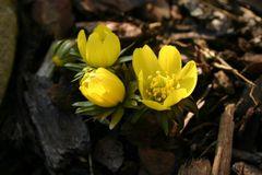 Der gelbe Winterling in der Mittagssonne