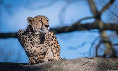 Der Gepard!