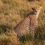 Der Gepard....