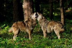 Der Gesang der Wölfe