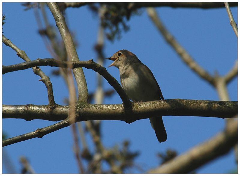Der Gesangsstar unter den Vögeln, die Nachtigall
