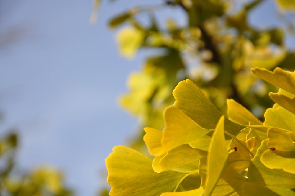 Der Ginkobaum